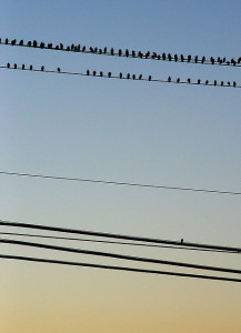 Picture of birds on telephone line, with a single bird by itself.